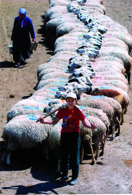celal-gezici-yapisik-koyunlar-karapinar-konya-mansiyon