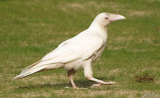 Beyaz Karga